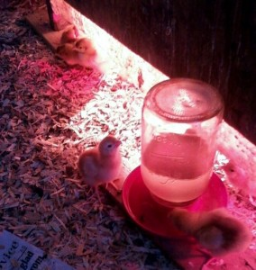 baby_chicks_drinking
