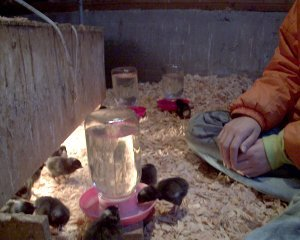 Day-old Black Sex-Link chicks and an Ohio heat-lamp brooder.