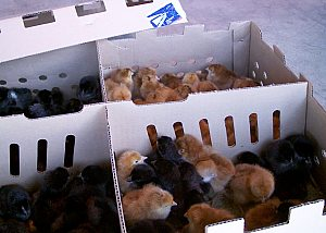 Baby chicks in their mailing box