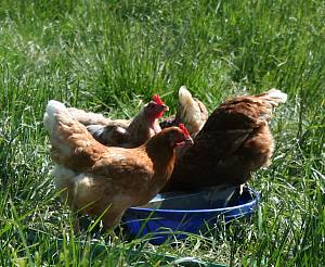 FAQ: Free Range and Yarding for Chickens | Practical Poultry Tips