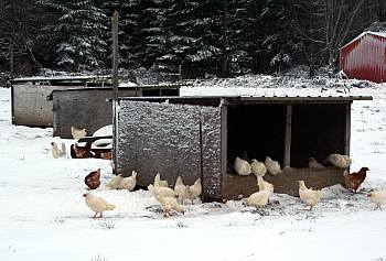 chickens in range houses and snow