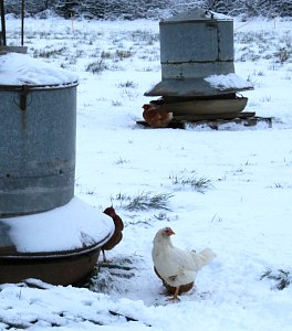 Chickens using range feeders in the snow