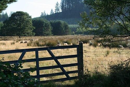 sheep next door to Norton Creek Farm